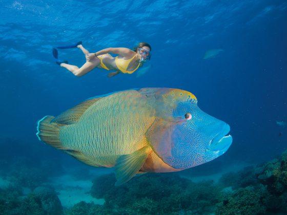 Maori Wrasse, Turtle Bay, Agincourt Reef